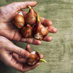 Prachtige Amaryllis bollen kiezen